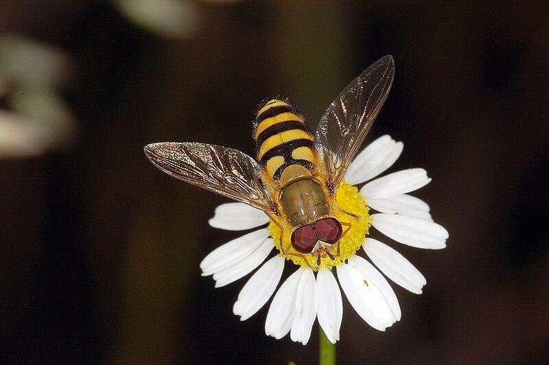 File:Syrphidae fg02.jpg