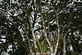 Syzygium jambos 11zz.jpg