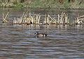 TEAL, BLUE-WINGED (4-10-11) patagonia lake state park, scc, az -01 (5607799682).jpg