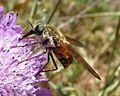 Tabanidae - Flickr - gailhampshire (3).jpg