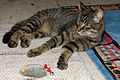 Tabby-cat brown our new pet 30062015 5040.jpg