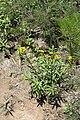 Tagetes lucida (Asteraceae) (24734853010).jpg