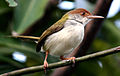 Tailorbird common.jpg
