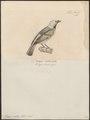 Tangara seledon - 1700-1880 - Print - Iconographia Zoologica - Special Collections University of Amsterdam - UBA01 IZ15900297.tif