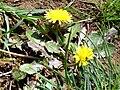 Taraxacum obovatum x T. laevigatum 2010March29 DehesaBoyaldePuertollano.jpg