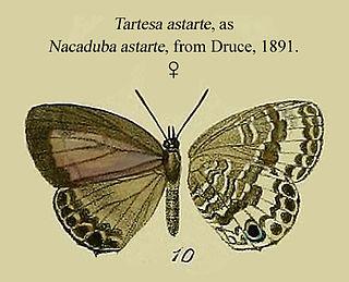 <i>Tartesa</i> Butterfly genus in family Lycaenidae