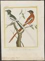 Tchitrea mutata - 1700-1880 - Print - Iconographia Zoologica - Special Collections University of Amsterdam - UBA01 IZ16500047.tif