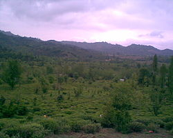 Tea Garden in the Amlash Iran.jpg