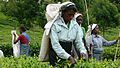 Tea Plantation Workers in Sri Lanka 2.jpg