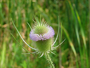 Dipsacus fullonum - Flowers and head, Ottawa, Ontario
