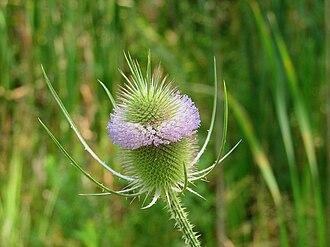 Dipsacus fullonum - Flowers and head, Ottawa, Ontario