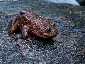 Telmatobius - Telmatobius species from altiplano lakes in northern Chile.