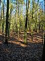 Texel - De Dennen - Beech forest - View East.jpg