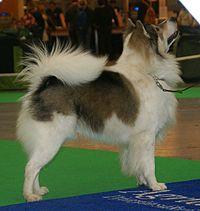 Thai Bangkaew Dog 2.jpg