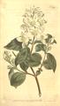 The Botanical Magazine, Plate 391 (Volume 11, 1797).png
