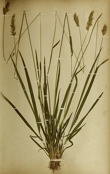 File:The British farmer's plant portfolio - specimens of the principal British grasses, forage plants and weeds - with full descriptions (1896) (14593541467).jpg