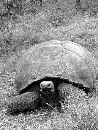 Black and white - Contemporary photo of a Galápagos tortoise (Chelonoidis nigra) on Santa Cruz Island