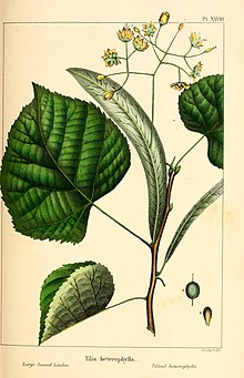 The North American sylva; or, A description of the forest trees of the United States, Canada and Nova Scotia. Considered particularly with respect to their use in the arts and their introduction into (14595095808).jpg