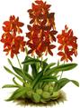 The Orchid Album-01-0017-0004-Epidendrum vitellinum majus-crop.png
