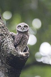 The Owlet.jpg