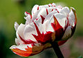 The color of tulip 1.jpg