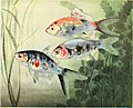 The complete aquarium book; the care and breeding of goldfish and tropical fishes (1936) (20483661068).jpg