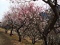 The prum blossoms in Makuyama-koen park, Yugawara, Kanagawa prefecture - panoramio.jpg
