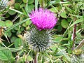 Thistle Growing By The Bronte Way Bridleway - geograph.org.uk - 875875.jpg