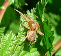 Thomisidae.. Misumeninae. (Ozyptila sp^) - Flickr - gailhampshire (1).jpg