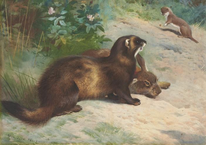 Thorburn polecat rabbit & weasel