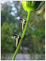 Thorn mimic Treehopper (15316448065).jpg