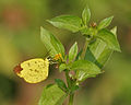 Three-spot Grass yellow (Eurema blanda) on a Synedrella nodiflora (Cinderella weed) in Kolkata W IMG 3677.jpg