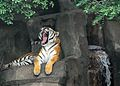 Tiger at Chicago Brookfield Zoo.jpg