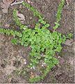 Tijmereprijs plant (Veronica serpyllifolia).jpg