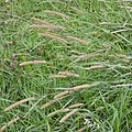 Timothy Grass (Phleum pratense) - Oslo, Norway 2020-08-03.jpg