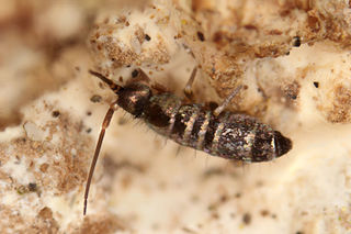 <i>Tomocerus vulgaris</i> Species of springtail