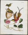 Topaza pella - 1820-1860 - Print - Iconographia Zoologica - Special Collections University of Amsterdam - UBA01 IZ19100231.tif