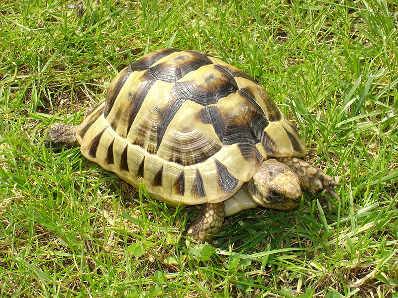 File tortue mauresque jpg wikimedia commons - Image tortue rigolote ...