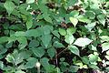Toxicodendron radicans 02966.jpg