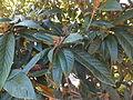 Trauttmansdorff gardens - Eriobotrya japonica 01.JPG