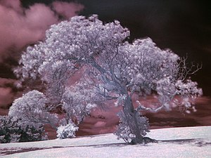 English: An infrared (IR) photograph of a tree.