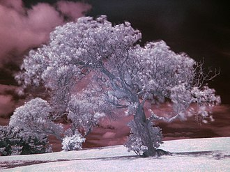 Infrared photography - Image: Tree example IR