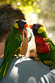 Trichoglossus haematodus -San Diego Zoo, USA -two perching on shoulder-8.jpg