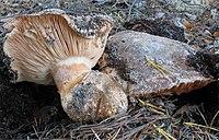 Tricholoma colossus.jpg