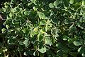 Trifolium - Parc Floral.jpg