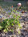 Trifolium hybridum subsp. hybridum sl7.jpg