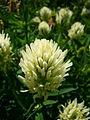 Trifolium pannonicum 'hungarian clover' 2007-06-02 (flower).jpg