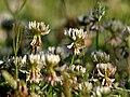 Trifolium repens in Kullu distt W IMG 6655.jpg