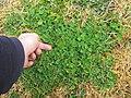 Trifolium subterraneum habit2 (10734265815).jpg