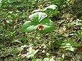 Trillium erectum parc national de la Mauricie.JPG